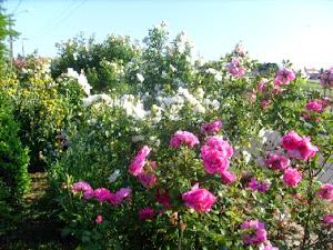 Mur de roses