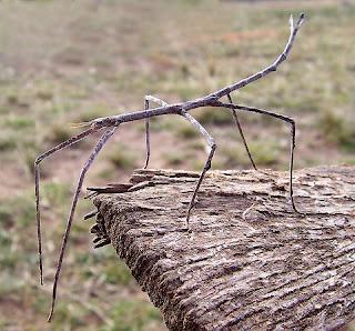 Curiosidades insectos palo