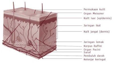 Bagian-bagian Kulit dan Fungsinya Lengkap dilengkapi dengan Penyakit pada Kulit