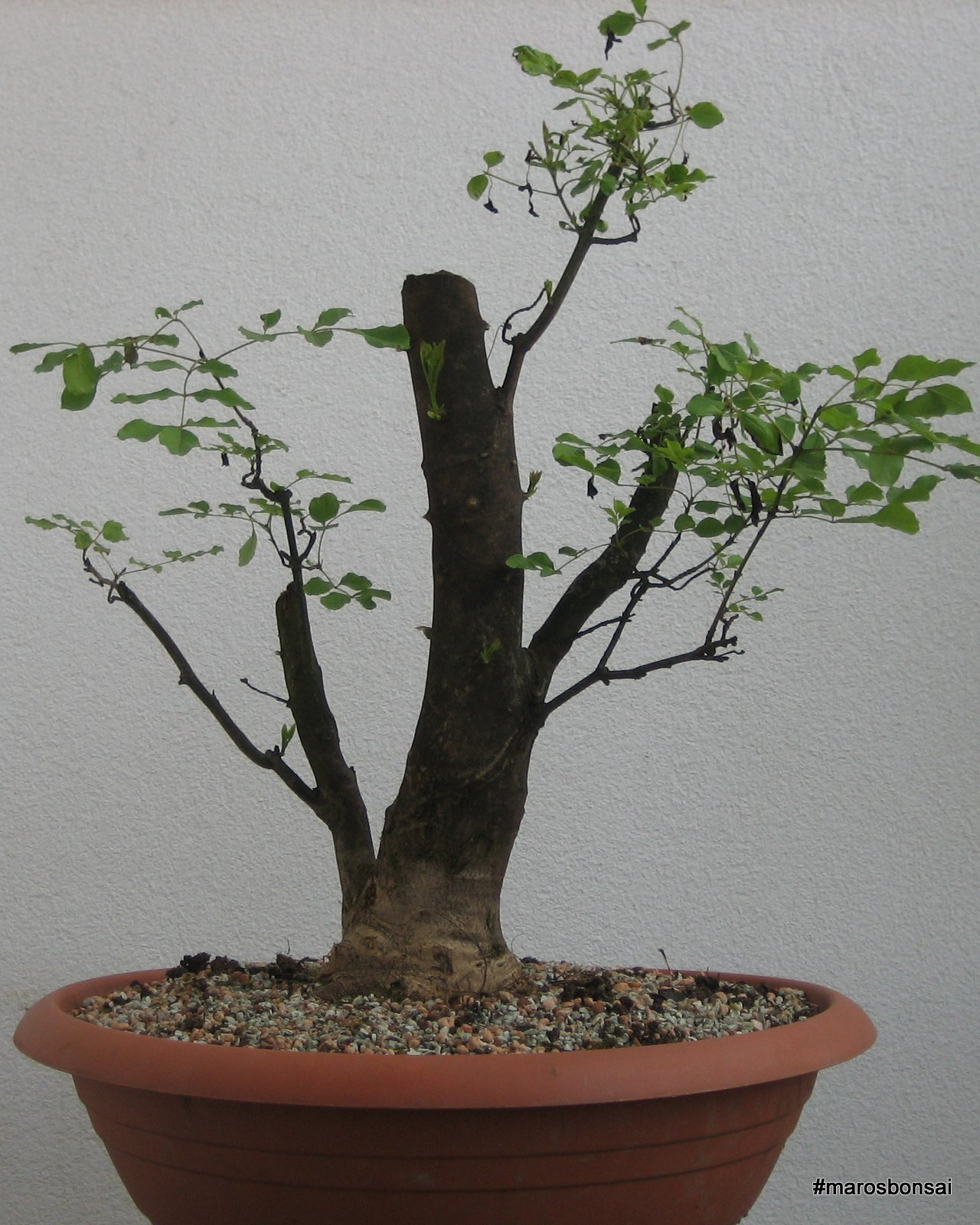 Maros Bonsai Blog August 2015