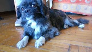 Βρέθηκε μικροσκόπικη σκυλιτσα στο Νέο Κόσμο.Το τριχωμα της ειναι μαυρο-καφε με ασπρες λεπτομεριες στην κοιλιτσα και τα ποδια.