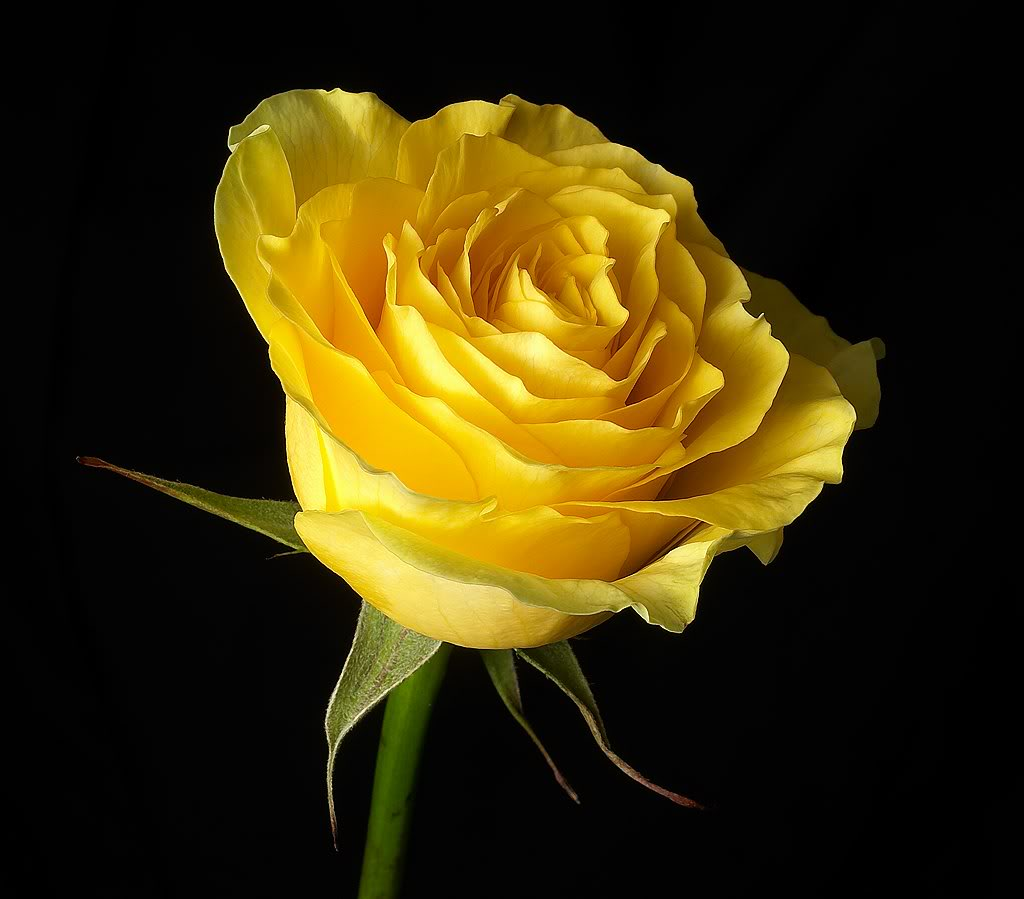 add yellow rose