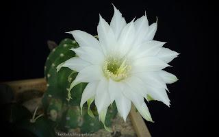 http://fotobabij.blogspot.com/2015/03/biay-kwiat-kaktusa.html