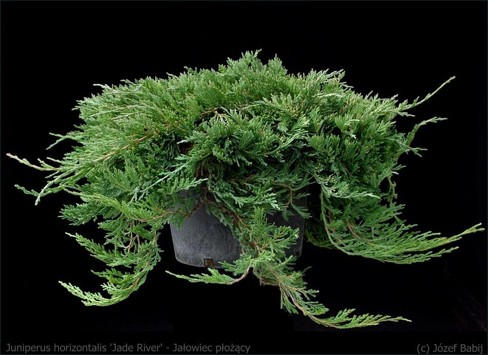 Juniperus horizontalis 'Jade River' - Jałowiec płożący 'Jade River' pokrój