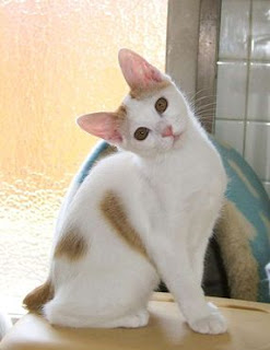 Japanese Bobtail Cat Pictures