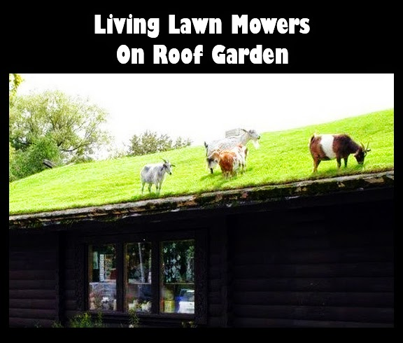 Living Lawn Mowers on Roof Garden