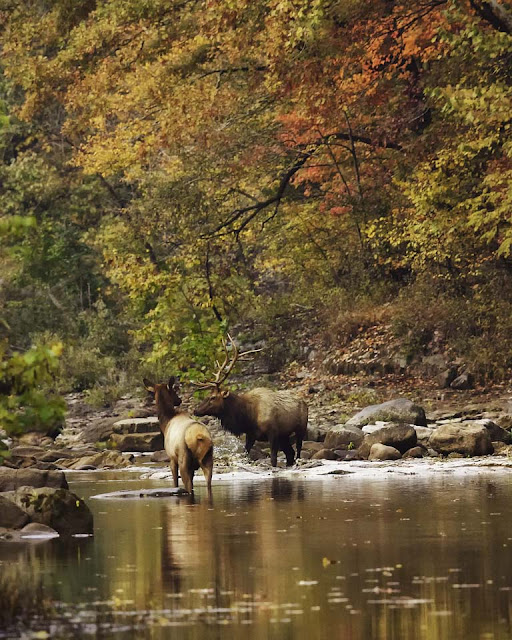 Satellite Bull Elk and Cow in Buffalo National River