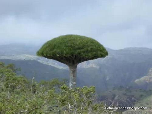 Cantik Penampakan Pohon Darah Naga Liar