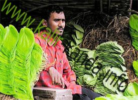 Купить растение калир канда