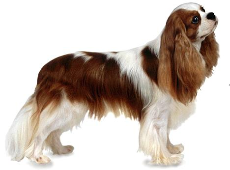 About Dog Cavalier King Charles Spaniel: How Well Is Your