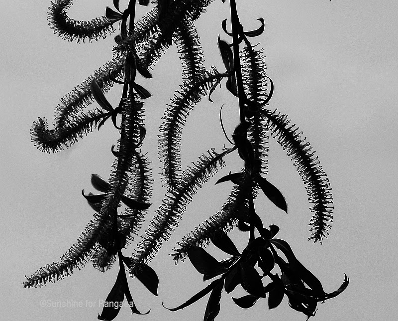 catkins of a willow tree