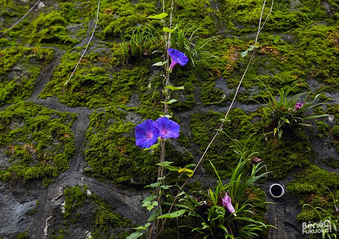 Jolies fleurs près du Megane-bashi, Nagasaki