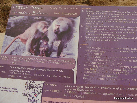 hamadryas baboon features