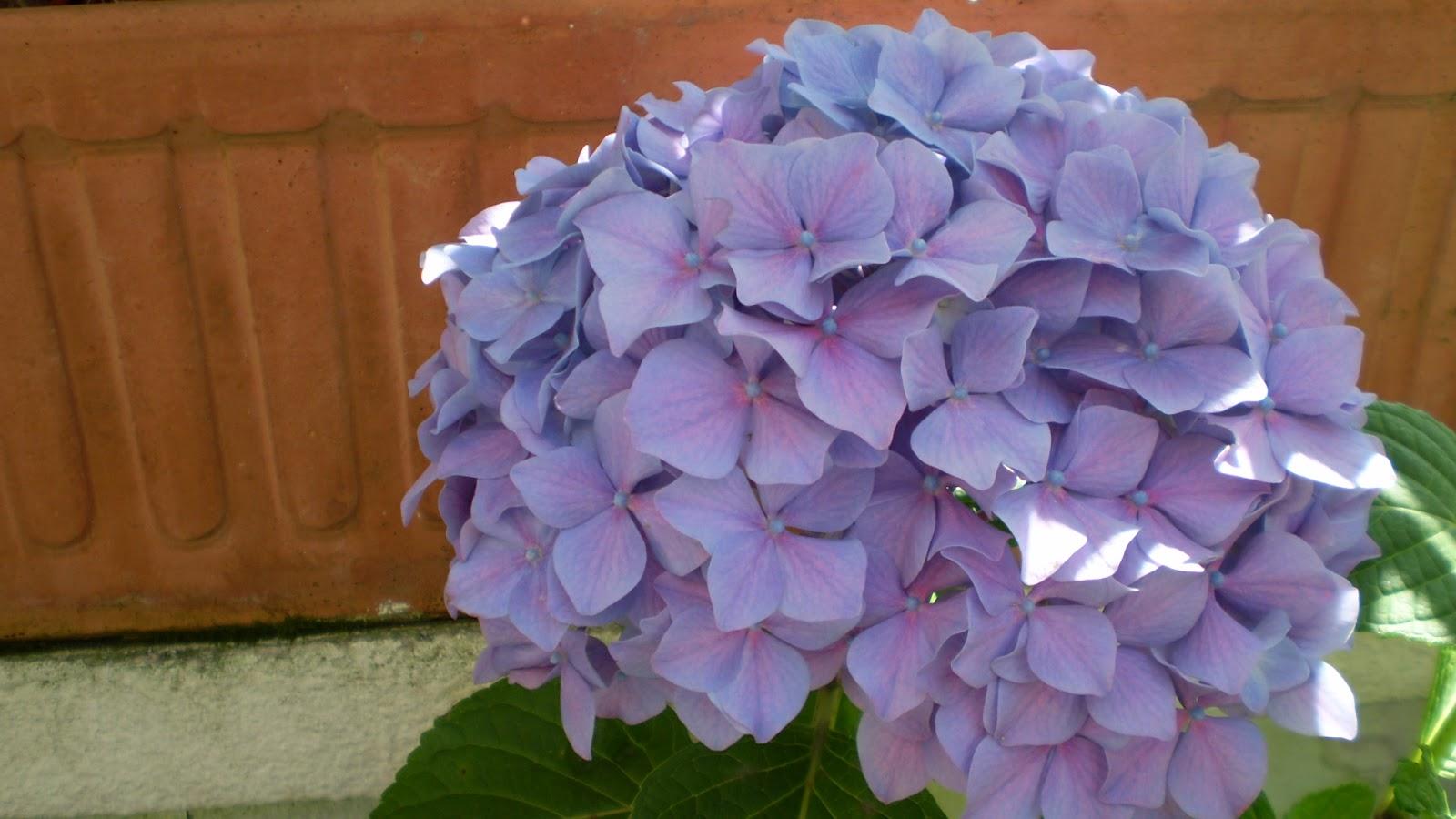 El jardinero urbano hortensias hydrangea mundos - Variedades de hortensias ...