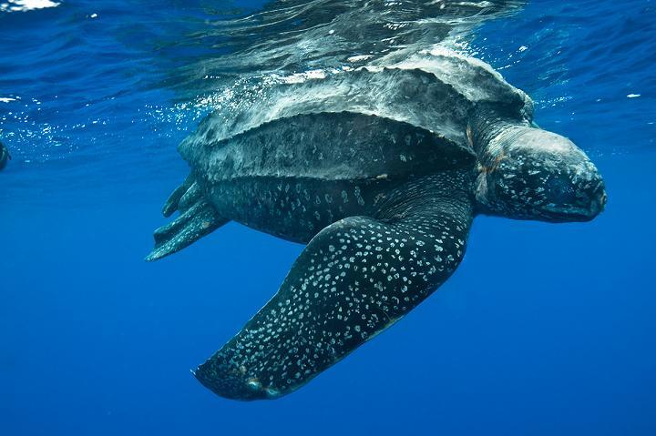 tartaruga couro marinha