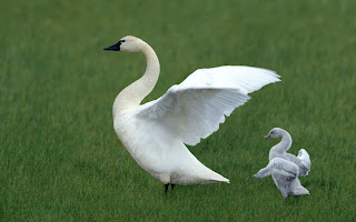 White Swans Love Mother HD Wallpaper