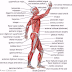 The names of the muscles in bodybuilding and place of every muscle in the human body