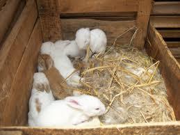 Jenis Ternak Kelinci