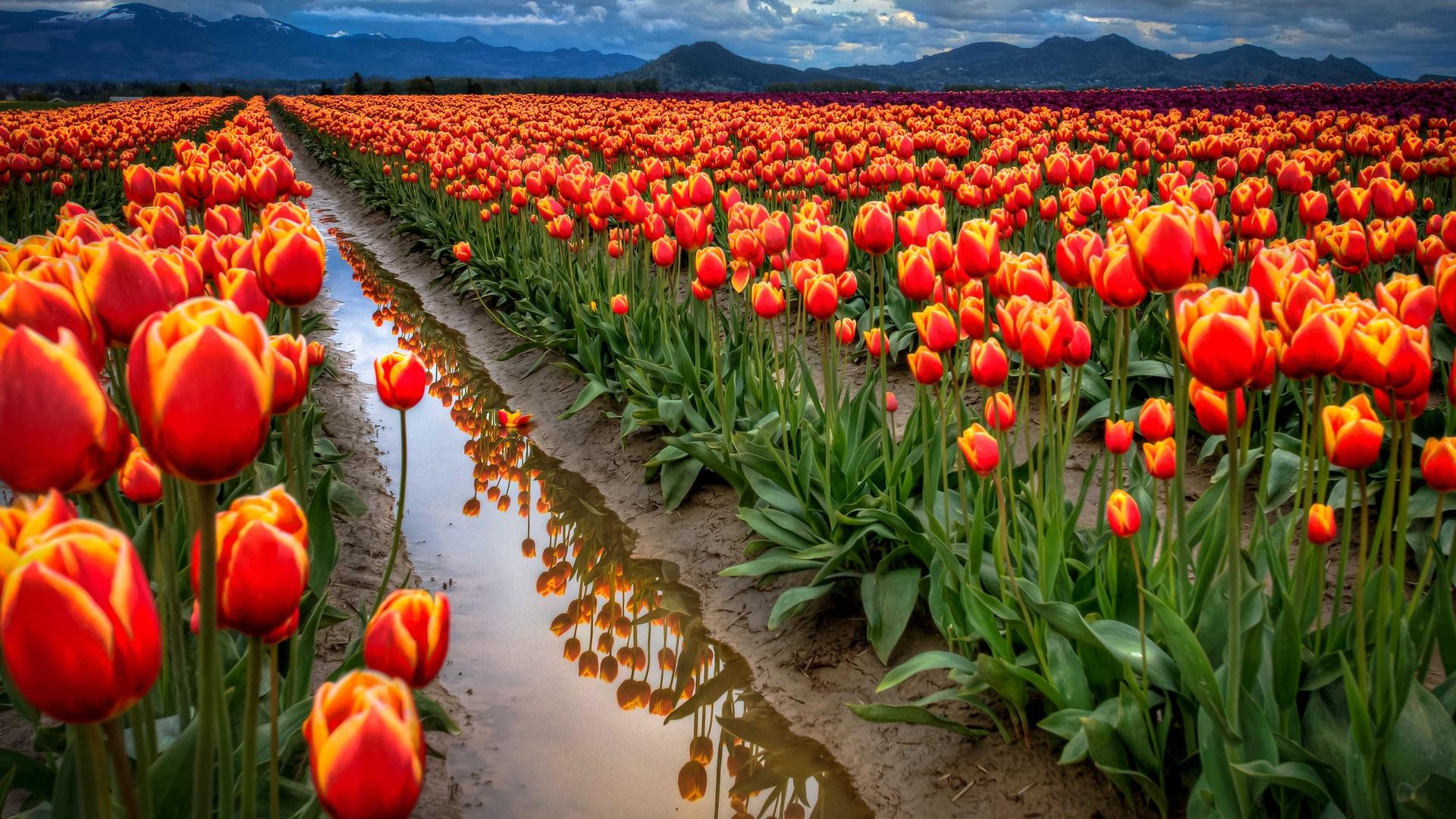 http://3.bp.blogspot.com/-TWKmDcQT1fQ/UGEtPf7wH6I/AAAAAAAAKeM/75LSVmtUSKM/s0/all-around-tulips-1920x1080-wallpaper.jpg