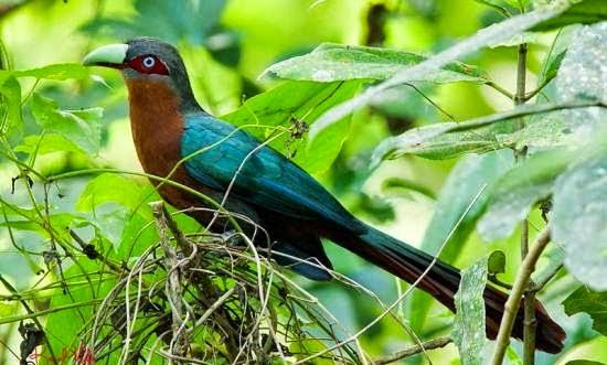 Foto Burung Bubut Jantan