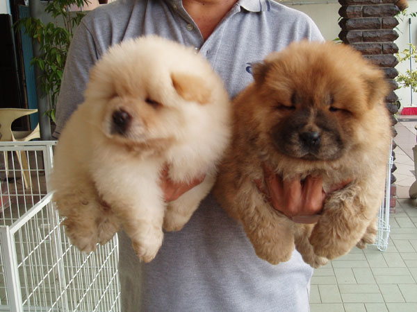 Chow chow the puffy lion dog puppies family - Images of chow chow puppies ...