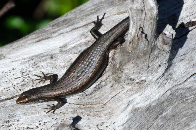 skink lying on tree branch