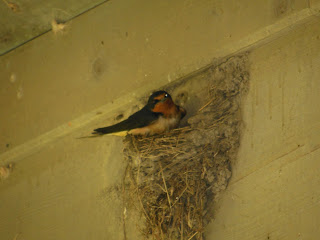 A swallow in a nest