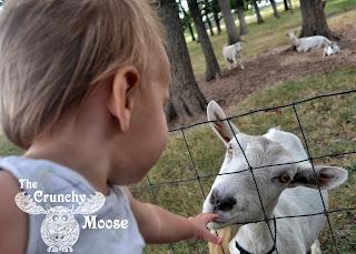 goats milk formula