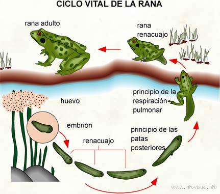 la metamorfosis en los anfibios