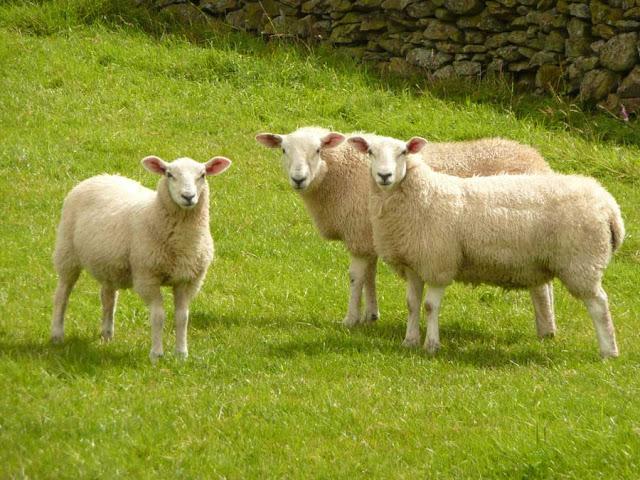 Nhau thai cừu Úc chứa các thành phần dưỡng chất giúp nuôi dưỡng làn da và bảo vệ sức khỏe của chị em hiệu quả