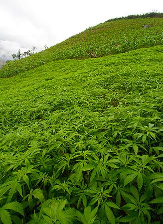 Yo me planto iniciaci n al cultivo cannabis b sico - Hello this is my new picture garden interior ...