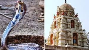 Heboh, Pria India Ini Menikah Dengan Ular Cobra
