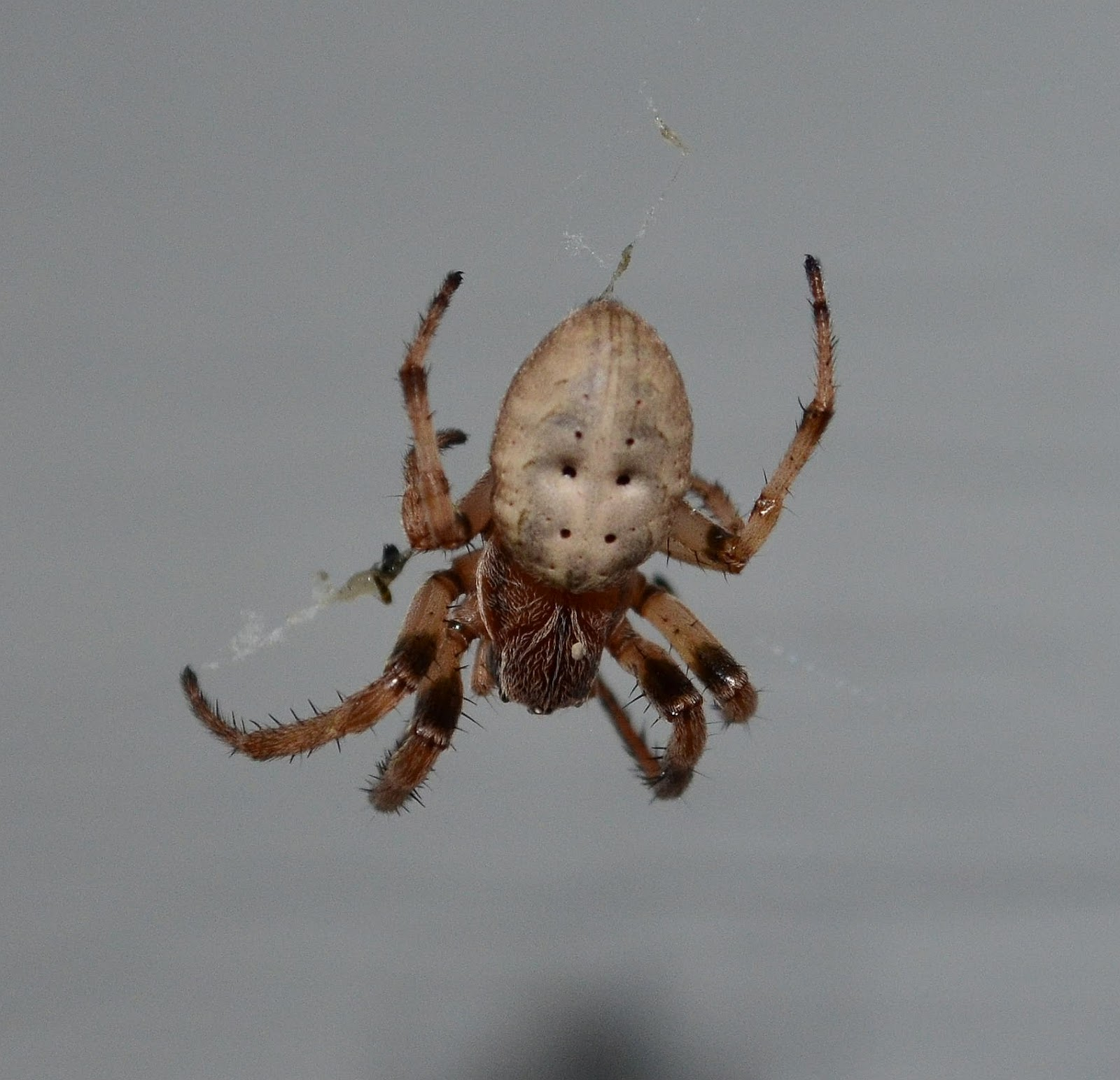 The gallery for --> Harmless Spiders