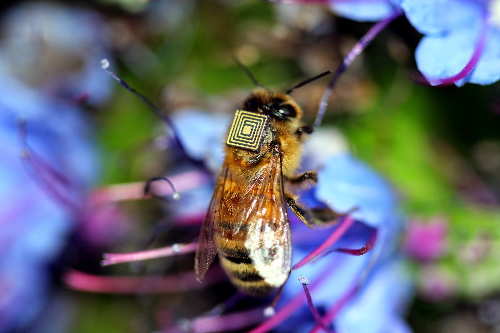 As abelhas são um dos principais polinizadores das flores e plantas, até um terço da comida que ingerimos depende da polinização. Foto: Vale/CSIRO