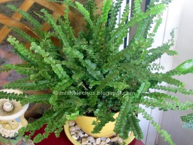 Mis helechos nephrolepis cordifolia 39 lemon button 39 for Plantas ornamentales helechos