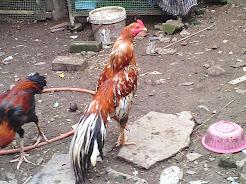 Toon Uban Ekor leret (Sold)