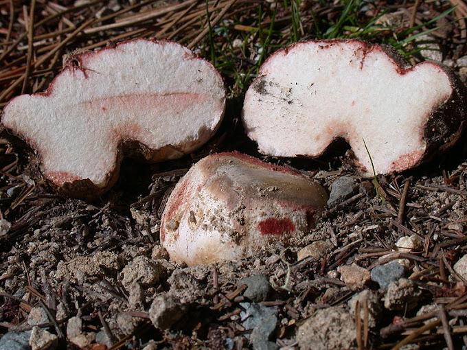 Domalan (Rhizopogon rubescens)