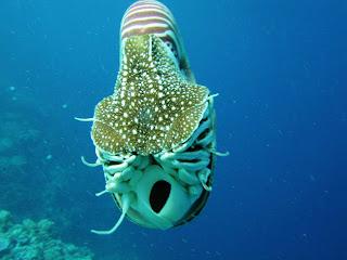 Nautilus Fotografias de animales marinos