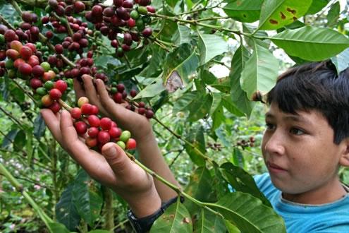 Lanzan XII Concurso Nacional de Cafés de Calidad en su Etapa Regional 2016 Hoy en Tarapoto, mañana