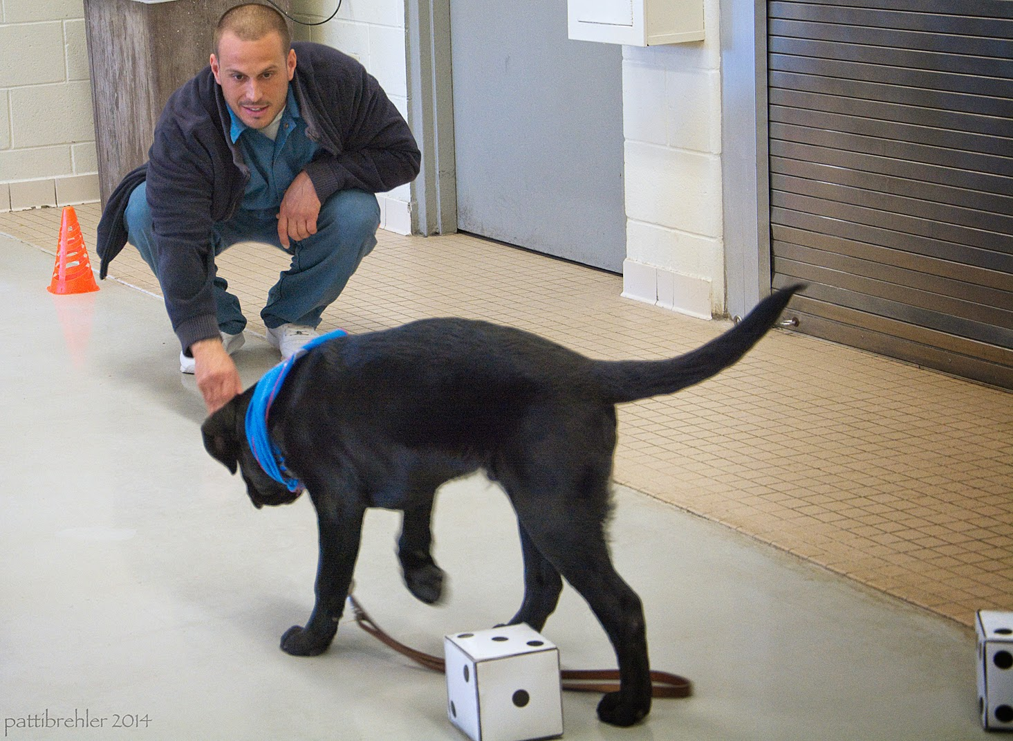 A young black lab puppy wearing a blue bnadana is walking away from the camera toward a man that is squatting down in the background and to the left. The man is wearing a dark blue fleece jacket and blue pants. He is calling the puppy toward him, his left arm is resting on his left knee and his right hand is tapping the painted concrete floor. The puppy is dragging his leash past two large dice on the floor. There is also a small orange cone on the floor behind and to the left of the man.