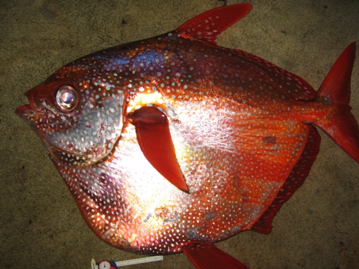 Opah fishes for What are the seven fishes