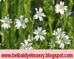 تعرف على فوائد نبات الطير واهميته العلاجيه للكثير من الامراض