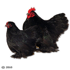solid black chicken breeds