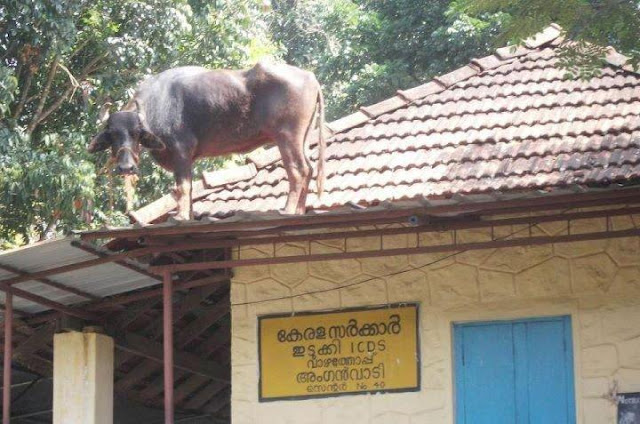 Buffalo on Top of a Roof, It Happens only in India