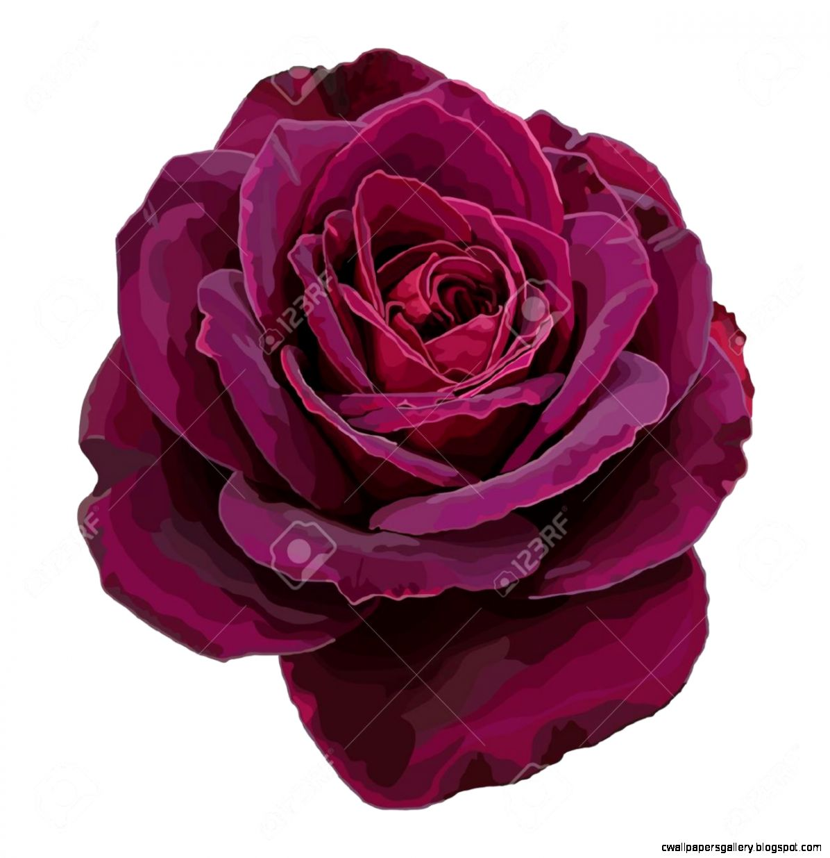 Purple Rose Isolated On A White Background Royalty Free Cliparts