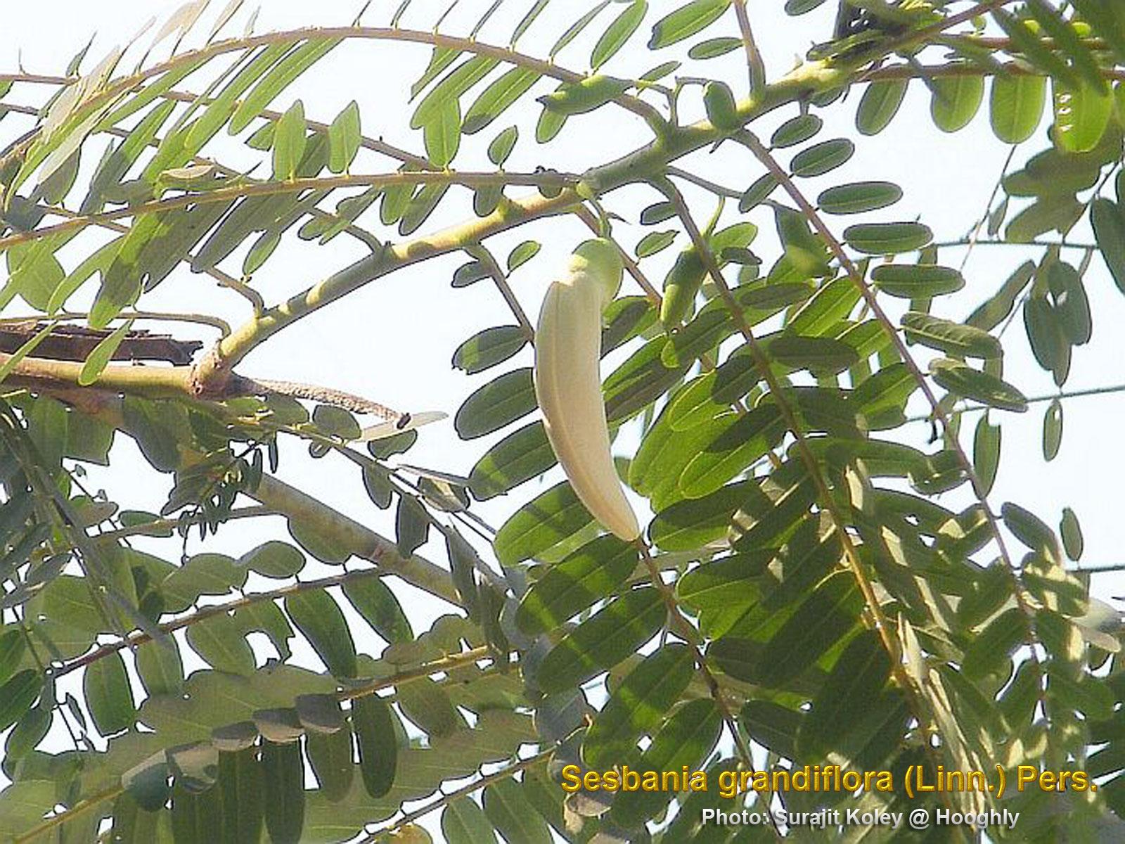Medicinal plants sesbania grandiflora agasthi agatti bok ful bunga turi so dua uses with 85 published articles ccuart Choice Image