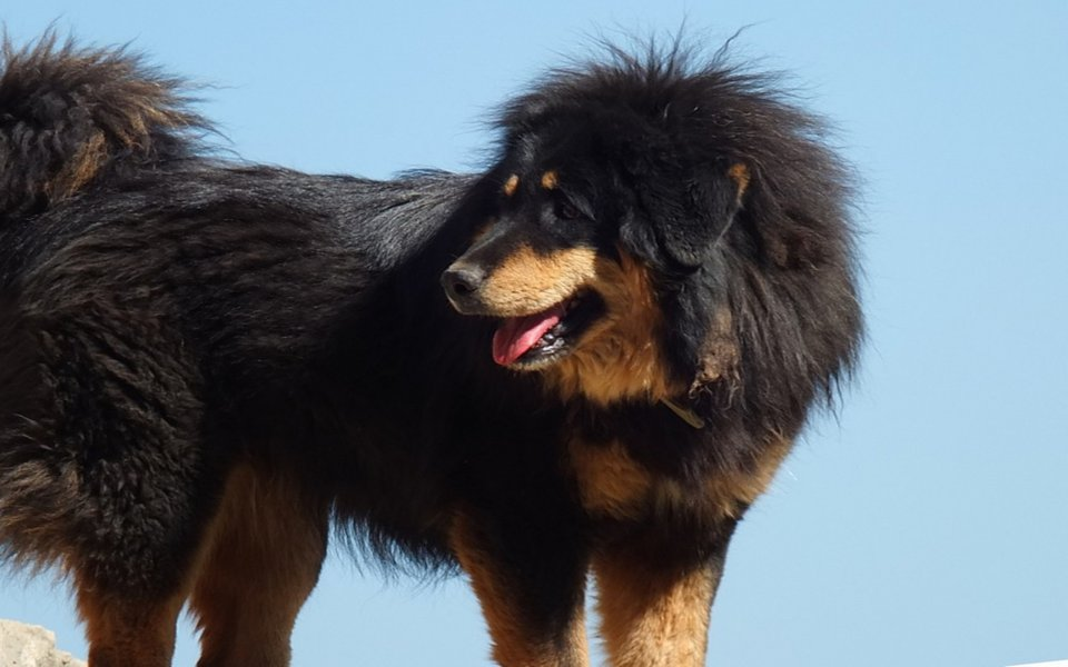 dog, Dogs, pet, pets, Tibetan Mastiff,