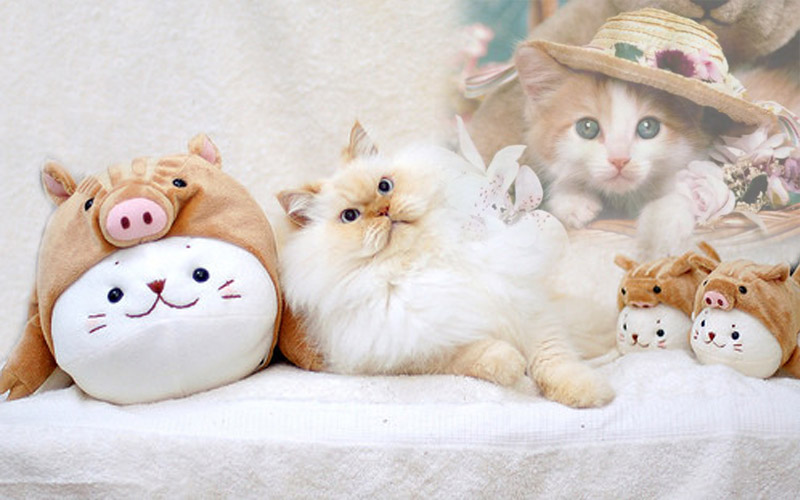 Gambar Kucing Imut Untuk Wallpaper godean.web.id