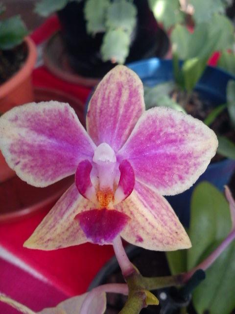les orchid es bucoliques princesses vertes et autres diablotins un keiki venu d 39 hiver. Black Bedroom Furniture Sets. Home Design Ideas