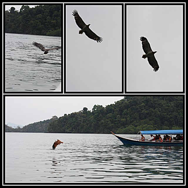 pemandangan eagle feeding langkawi